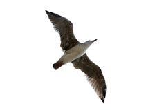 απομονωμένο seagull Στοκ Φωτογραφίες