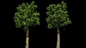 Απομονωμένο Tilia δέντρο απόθεμα βίντεο