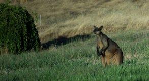 Απομονωμένο Wallaby στοκ εικόνα