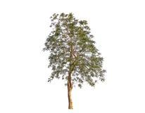 Απομονώστε το δέντρο Στοκ Εικόνα