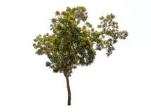 Απομονώστε το δέντρο Στοκ Εικόνες