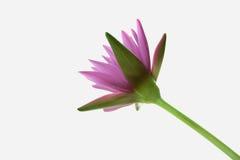 Απομονώστε το λουλούδι λωτού Στοκ Φωτογραφία