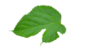 Απομονώστε το πράσινο φύλλο Στοκ εικόνα με δικαίωμα ελεύθερης χρήσης