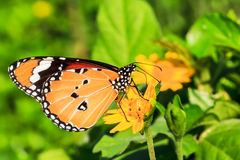 Απορροφώντας νέκταρ πεταλούδων από τα λουλούδια Στοκ Εικόνες