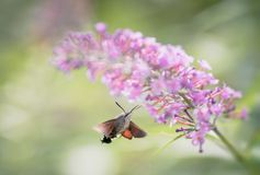 Απορροφώντας νέκταρ σκώρων γερακιών κολιβρίων από το λουλούδι στοκ εικόνα