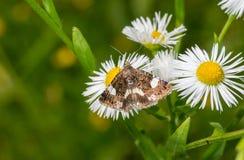Απορροφώντας νέκταρ σκώρων Desmia σε ένα άγριο λουλούδι Στοκ Εικόνες