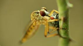Απορροφώντας ρευστά μυγών ληστών από μια νεκρή μύγα απόθεμα βίντεο