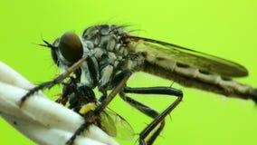 Απορροφώντας ρευστά μυγών ληστών από μια νεκρή μύγα HD φιλμ μικρού μήκους