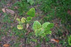Απορροφώντας σημάδι εντόμων στα φύλλα λεμονιών στοκ φωτογραφία με δικαίωμα ελεύθερης χρήσης