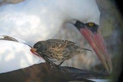 Απορροφώντας Finch βαμπίρ αίματος με τον γκαφατζή Nazca, νησί λύκων, Galap Στοκ Φωτογραφία