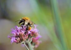 απορρόφηση νέκταρ μελισσών Στοκ εικόνες με δικαίωμα ελεύθερης χρήσης
