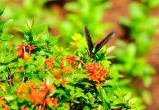 απορρόφηση νέκταρ πεταλού&de Στοκ Εικόνα
