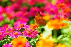 απορρόφηση νέκταρ πεταλού&de Στοκ εικόνα με δικαίωμα ελεύθερης χρήσης