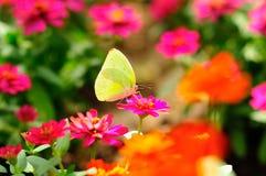 απορρόφηση νέκταρ πεταλού&de Στοκ φωτογραφία με δικαίωμα ελεύθερης χρήσης