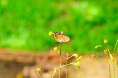 απορρόφηση νέκταρ πεταλού&de Στοκ Φωτογραφία