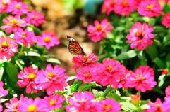 απορρόφηση νέκταρ πεταλού&de Στοκ εικόνες με δικαίωμα ελεύθερης χρήσης