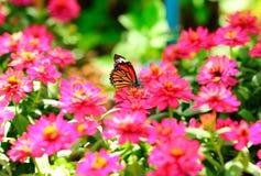 απορρόφηση νέκταρ πεταλού&de Στοκ Εικόνες