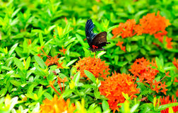 απορρόφηση νέκταρ πεταλού&de Στοκ Φωτογραφίες