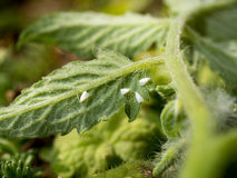 Απορρόφηση Whiteflies σε ένα φύλλο ντοματών Στοκ Εικόνες