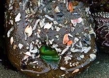 Αποσυμένο πράσινο anemone Στοκ Φωτογραφίες