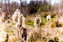 Αποσυνθέτοντας Bulrush λουλούδι στην όμορφη Βρετανική Κολομβία, Καναδάς στοκ εικόνες με δικαίωμα ελεύθερης χρήσης