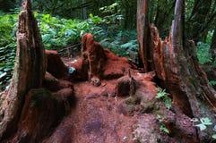 Αποσυντεθειμένο δέντρο κέδρων Στοκ φωτογραφία με δικαίωμα ελεύθερης χρήσης