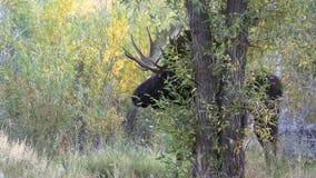Αποτελμάτωση αλκών του Bull το φθινόπωρο φιλμ μικρού μήκους