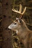 Αποτελμάτωση πτώσης Buck ελαφιών Whitetail Στοκ εικόνες με δικαίωμα ελεύθερης χρήσης