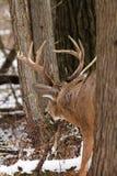 Αποτελμάτωση πτώσης Buck ελαφιών Whitetail Στοκ Φωτογραφίες