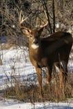 Αποτελμάτωση πτώσης Buck ελαφιών Whitetail στοκ φωτογραφία με δικαίωμα ελεύθερης χρήσης