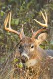 Αποτελμάτωση Buck ελαφιών Whitetail στοκ φωτογραφία με δικαίωμα ελεύθερης χρήσης