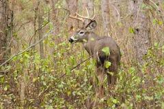 Αποτελμάτωση Buck ελαφιών Whitetail στοκ εικόνες