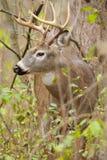 Αποτελμάτωση Buck ελαφιών Whitetail στοκ φωτογραφίες