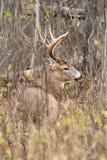 Αποτελμάτωση Buck ελαφιών Whitetail στοκ εικόνα