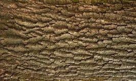 Αποτυπωμένη σε ανάγλυφο σύσταση του καφετιού φλοιού ενός δέντρου με το πράσινο βρύο και της μπλε λειχήνας σε το Στοκ Εικόνες