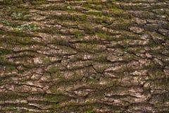 Αποτυπωμένη σε ανάγλυφο σύσταση του καφετιού φλοιού ενός δέντρου με το πράσινο βρύο και της μπλε λειχήνας σε το Στοκ φωτογραφίες με δικαίωμα ελεύθερης χρήσης