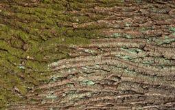 Αποτυπωμένη σε ανάγλυφο σύσταση του καφετιού φλοιού ενός δέντρου με το πράσινο βρύο και της μπλε λειχήνας σε το Στοκ Φωτογραφίες