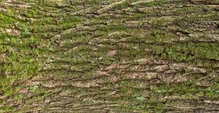 Αποτυπωμένη σε ανάγλυφο σύσταση του καφετιού φλοιού ενός δέντρου με το πράσινο βρύο και της λειχήνας σε το Στοκ Εικόνες