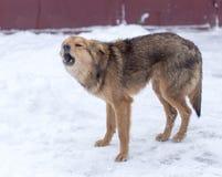 Αποφλοίωση σκυλιών υπαίθρια το χειμώνα στοκ φωτογραφίες με δικαίωμα ελεύθερης χρήσης