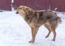 Αποφλοίωση σκυλιών υπαίθρια το χειμώνα στοκ εικόνες