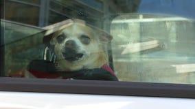 Αποφλοίωση Chihuahua στο αυτοκίνητο απόθεμα βίντεο
