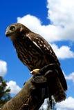 Αποφλοιώνοντας κινηματογράφηση σε πρώτο πλάνο κουκουβαγιών, πουλί--θήραμα Αυστραλία Στοκ Εικόνα