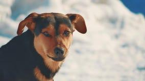 Αποφλοιώνοντας σκυλί μη επιθετικό σκυλί πορτρέτου στο υπόβαθρο χειμερινού χιονιού άστεγο πρόβλημα τρόπου ζωής κατοικίδιων ζώων ζώ απόθεμα βίντεο