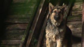 Αποφλοίωση σκυλιών - γερμανικό Shepard 02 απόθεμα βίντεο