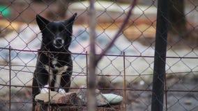 Αποφλοίωση σκυλιών πίσω από έναν φράκτη απόθεμα βίντεο