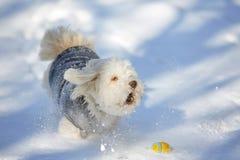 Αποφλοίωση του havanese σκυλιού με τη σφαίρα στο χιόνι στοκ εικόνες με δικαίωμα ελεύθερης χρήσης