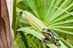 Αποφλοίωση Treefrog Στοκ Εικόνα