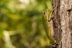 Αποφλοιώνοντας βάτραχος δέντρων Στοκ φωτογραφία με δικαίωμα ελεύθερης χρήσης