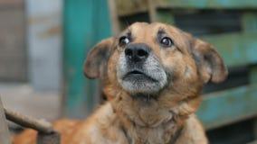 Αποφλοιώνοντας σκυλί Engry απόθεμα βίντεο
