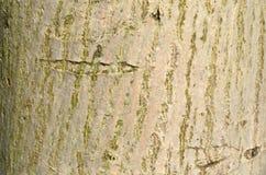 Αποφλοιώστε ένα δέντρο Στοκ Εικόνα
